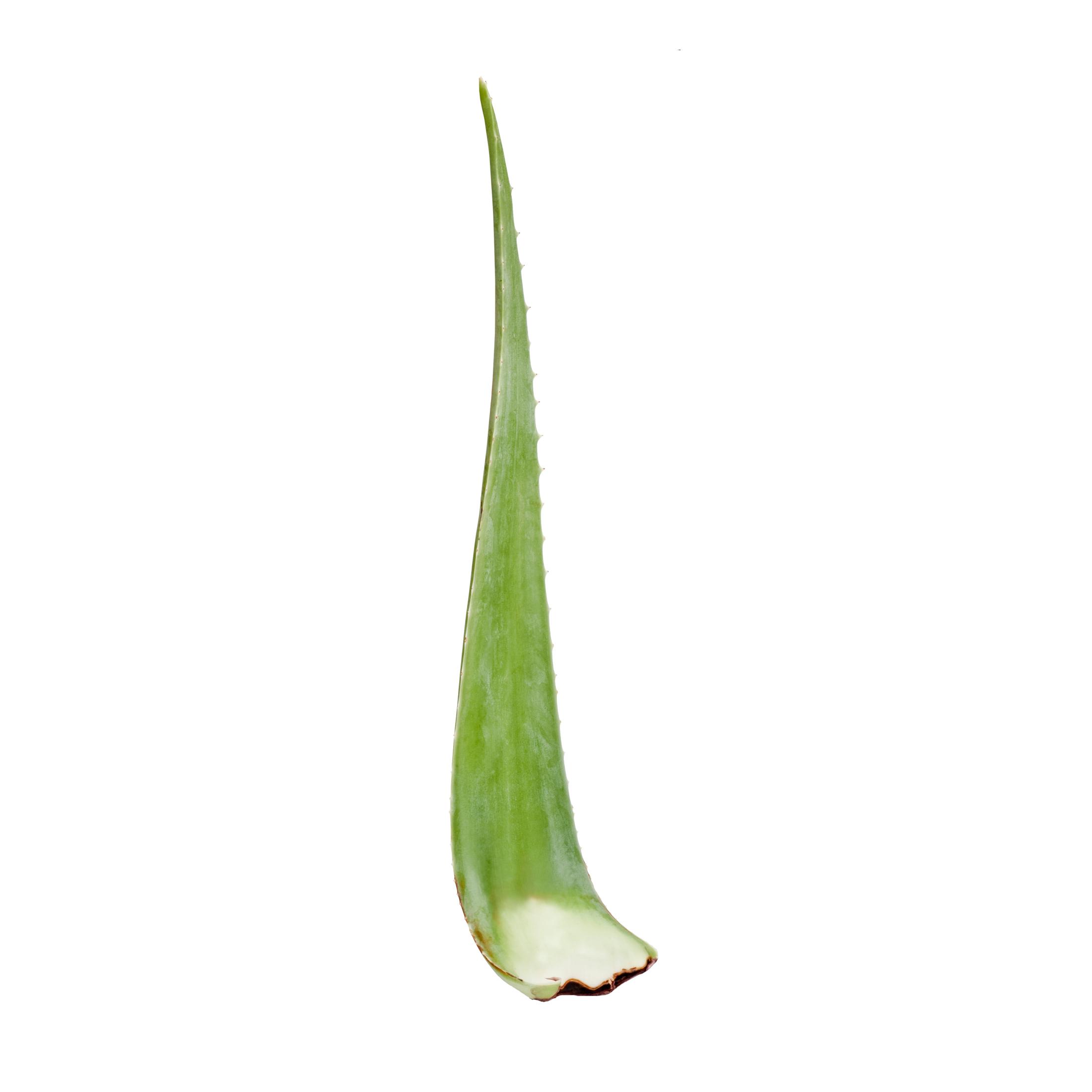 Santaverde Aloe vera čerstvý list 1 ks, cca 40 cm