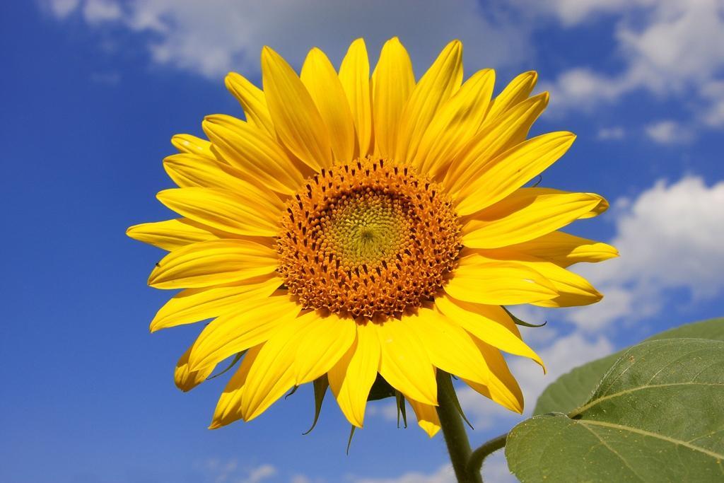 Slunečnicový olej, protože ho máme všichni doma
