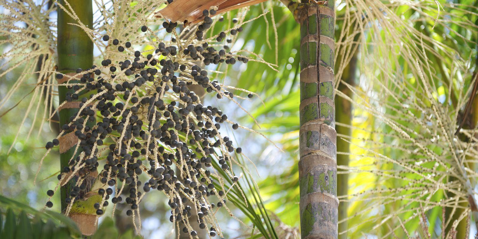 Acai - ovoce bohů a nejsilnější antioxidant