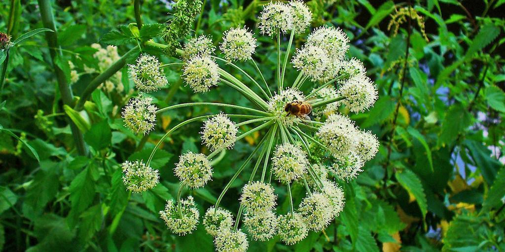 Andělika lékařská - bylinka, která chrání před kouzly