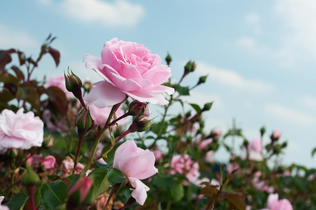 5 důvodů pro růži