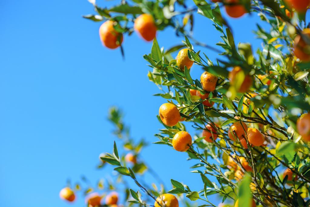 Esenciální olej mandarinka