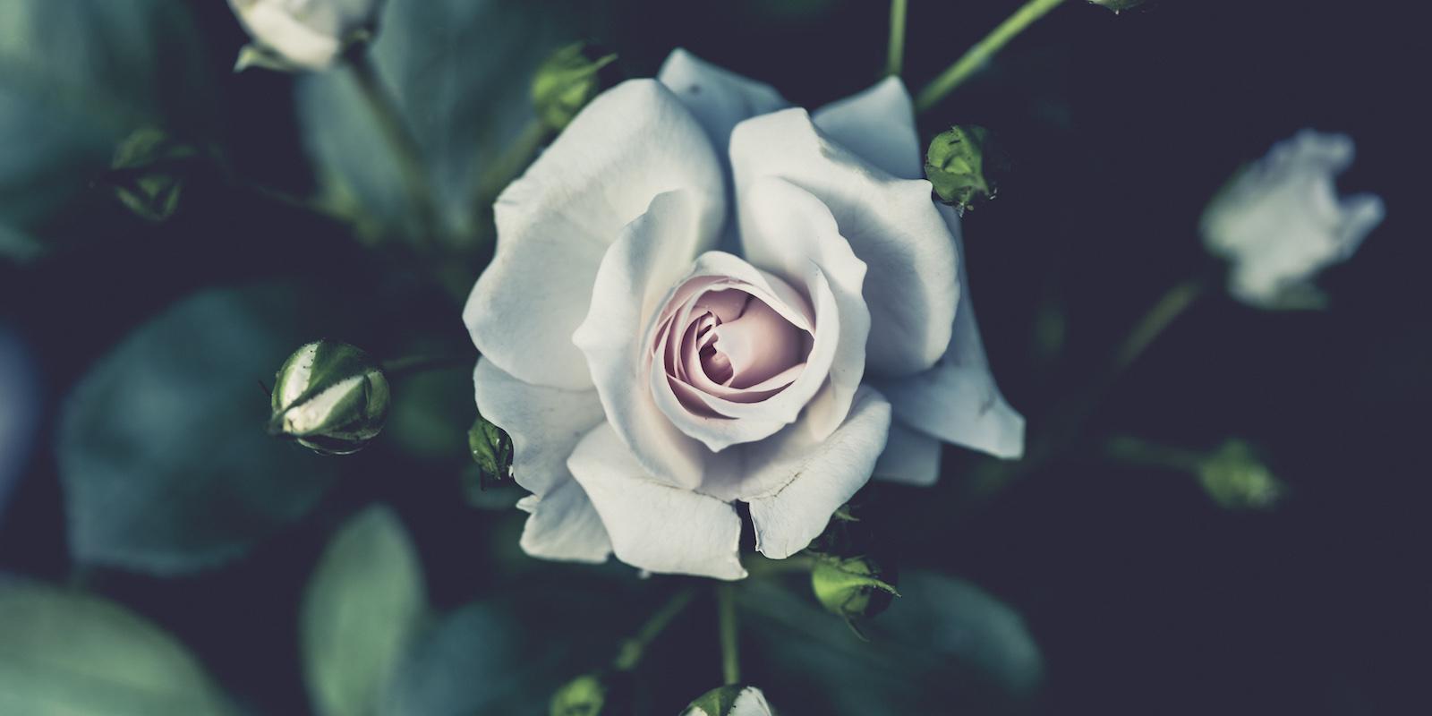 Obecné informace o růži
