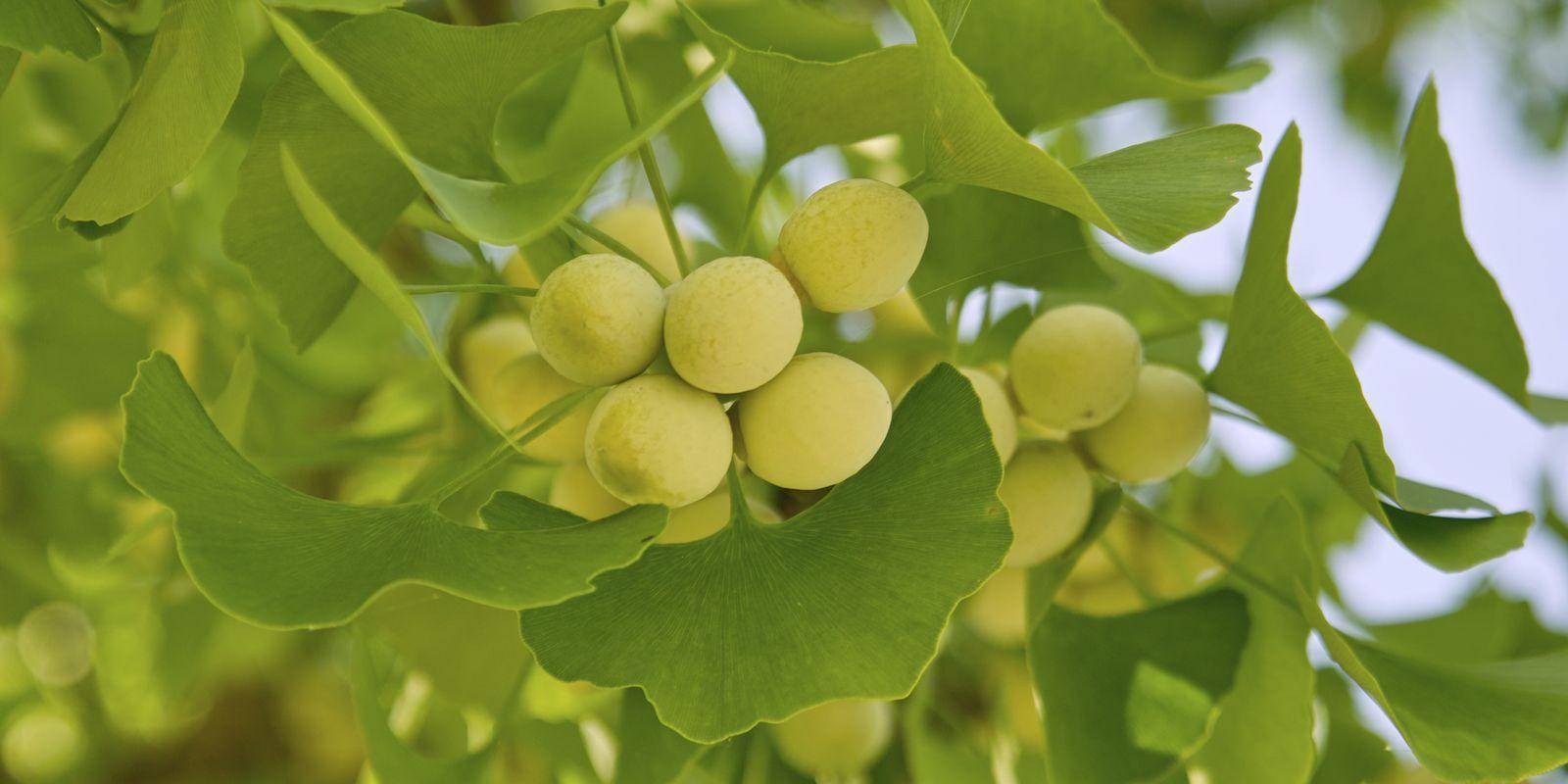 Ginkgo - zázračný strom, který prodlužuje život