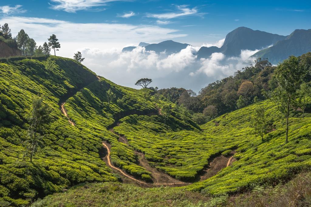 Základní druhy japonského zeleného čaje