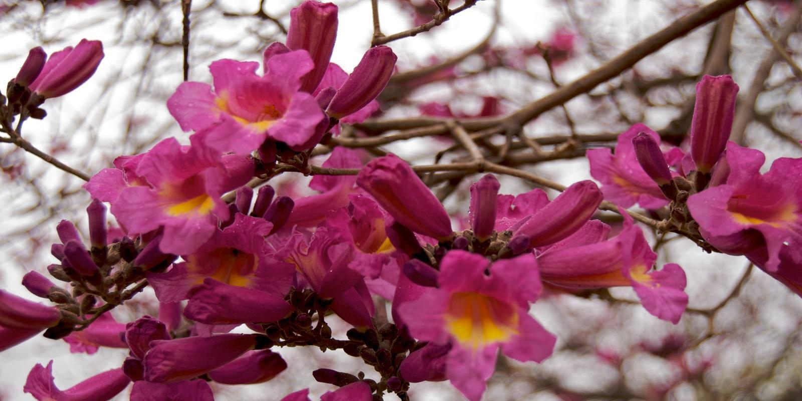 Lapacho, magická rostlina z pralesa zvyšující imunitu