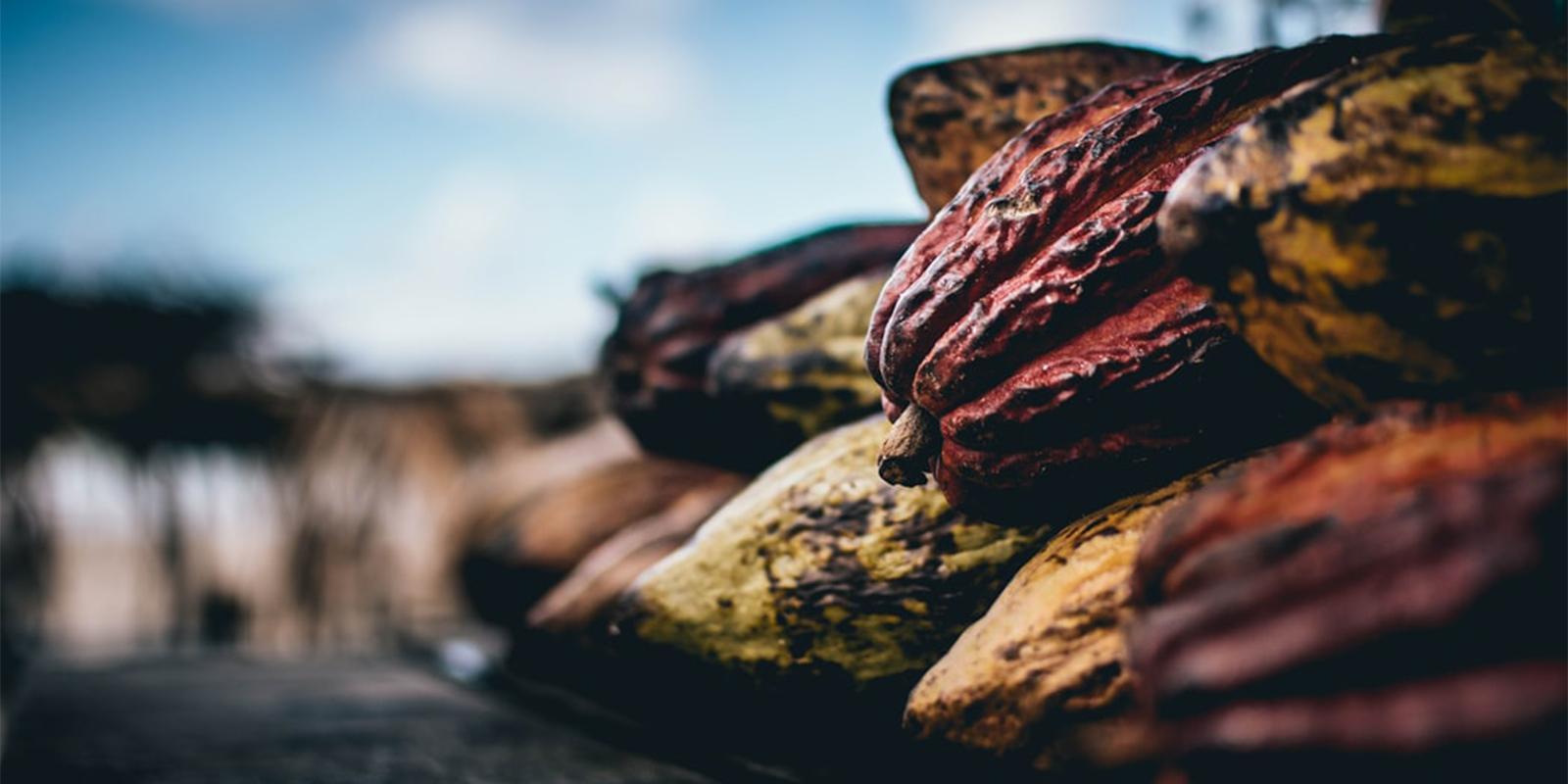 Kakaové boby používané k výrobě čokolády Lyra