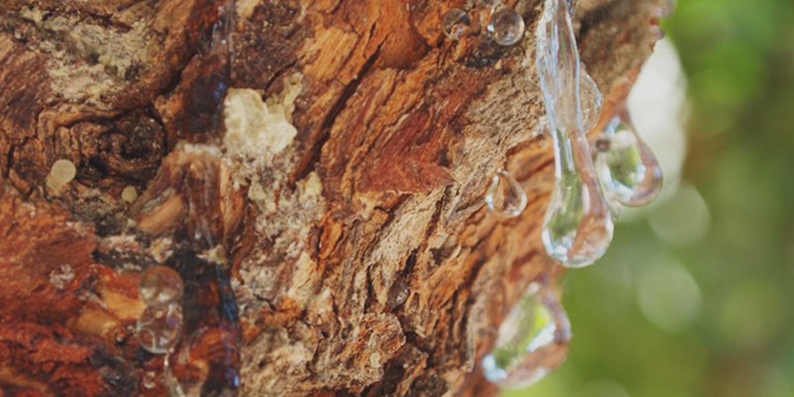 Strom řečník lentišek, ze kterého se získává masticha