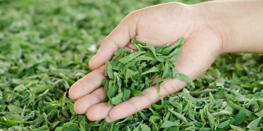 4 zdraví prospěšné účinky stévie