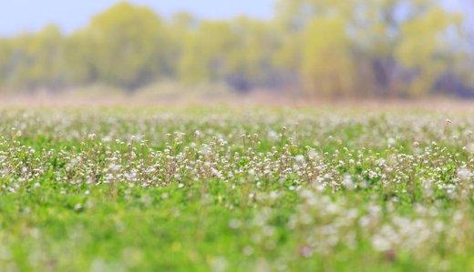 Alfalfa patří do zásadotvorného jídelníčku