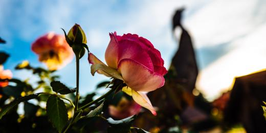 Esenciální olej růže (keltská, damašská, stolistá)