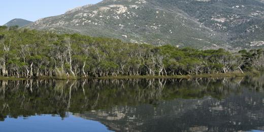 eukalyptus voňavý strom zázraků