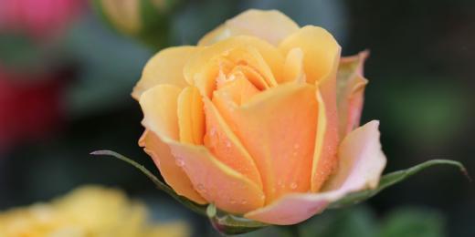 Hydroláty a květové vody Farfalla pro vaši krásu i zdraví