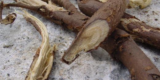 Lékořice lysá uleví od bolesti a zažene nachlazení