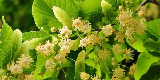 Lipový květ zdolá úporný kašel i rýmu, ale také vyhladí vaši pokožku