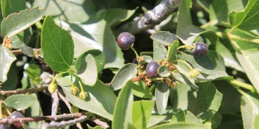 Maqui berry vám dodají vitamin C, sílu a pomohou vyléčit záněty
