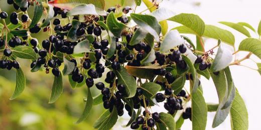Maqui: nadupané borůvky