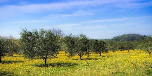MILLE ULIVI: Pohádka o tisíci a jednom olivovníku