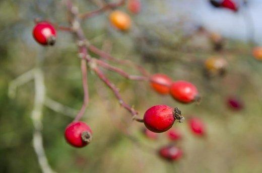 Novinka značky Saloos – přírodní regenerační Extra bio šípkový olej