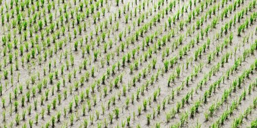 Rýže a její kosmetické účinky