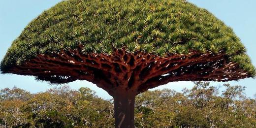Dračí krev strom nebe prirodni medicina