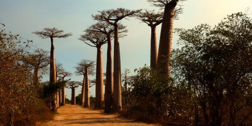 Vše o rostlinném oleji baobab