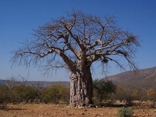 Zapomeňte na argan, přichází baobab