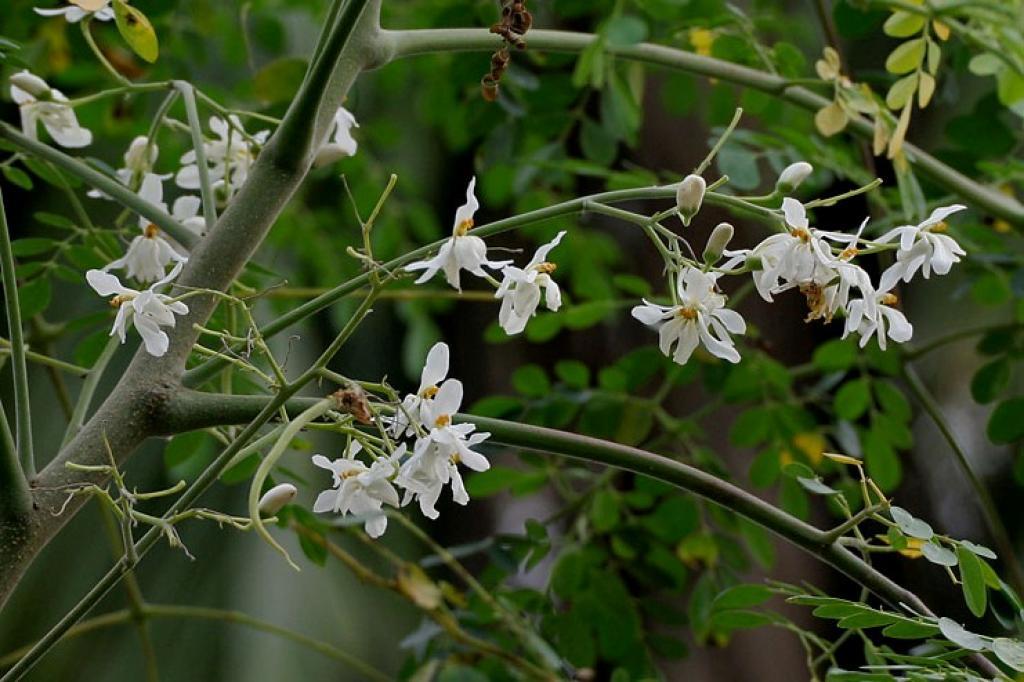 Moringa olejodárná, léčitelka z dalekých zemí