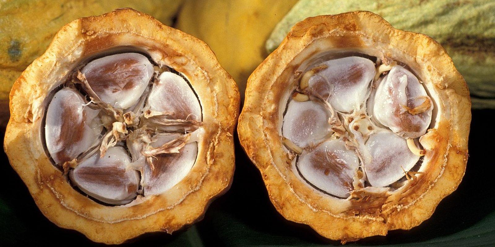 Cenné látky v raw kakau