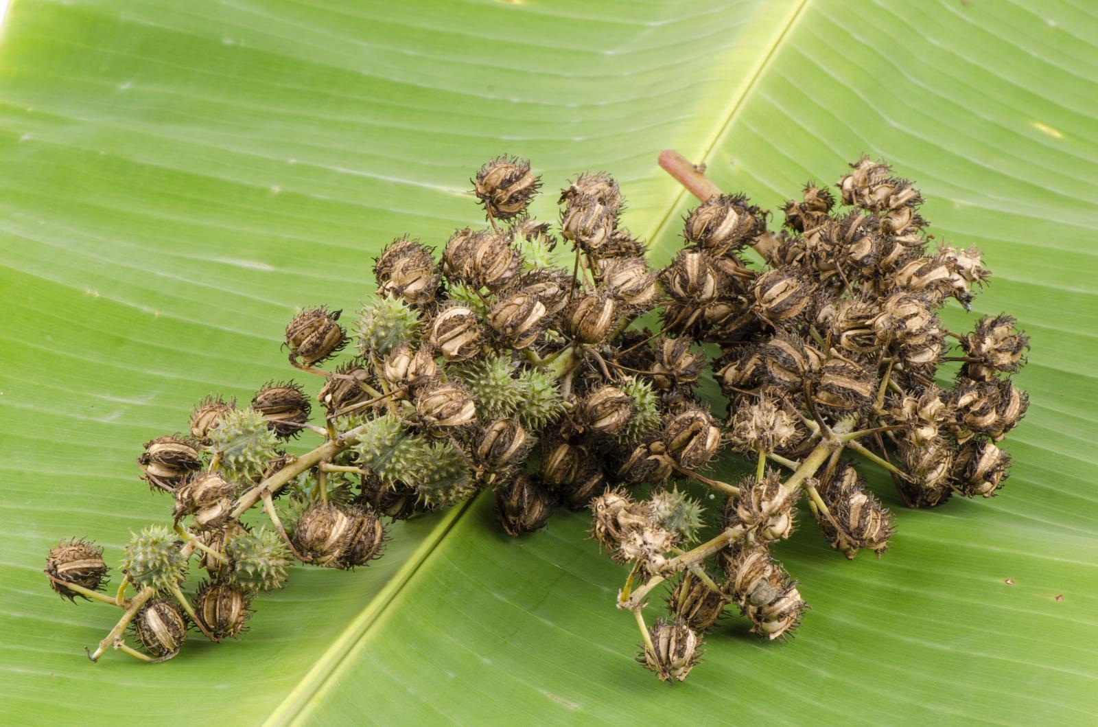 Hlavní složkou balzámů na rty Dizao je výživný ricinový olej.