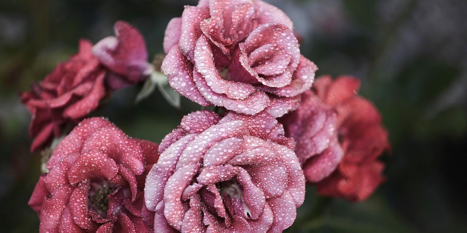 Recenze: Procházka růžovým sadem s Elixírem 5 růží Argandia