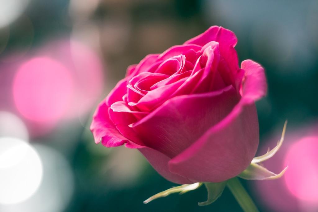 Recenze: Růžová voda v zimě