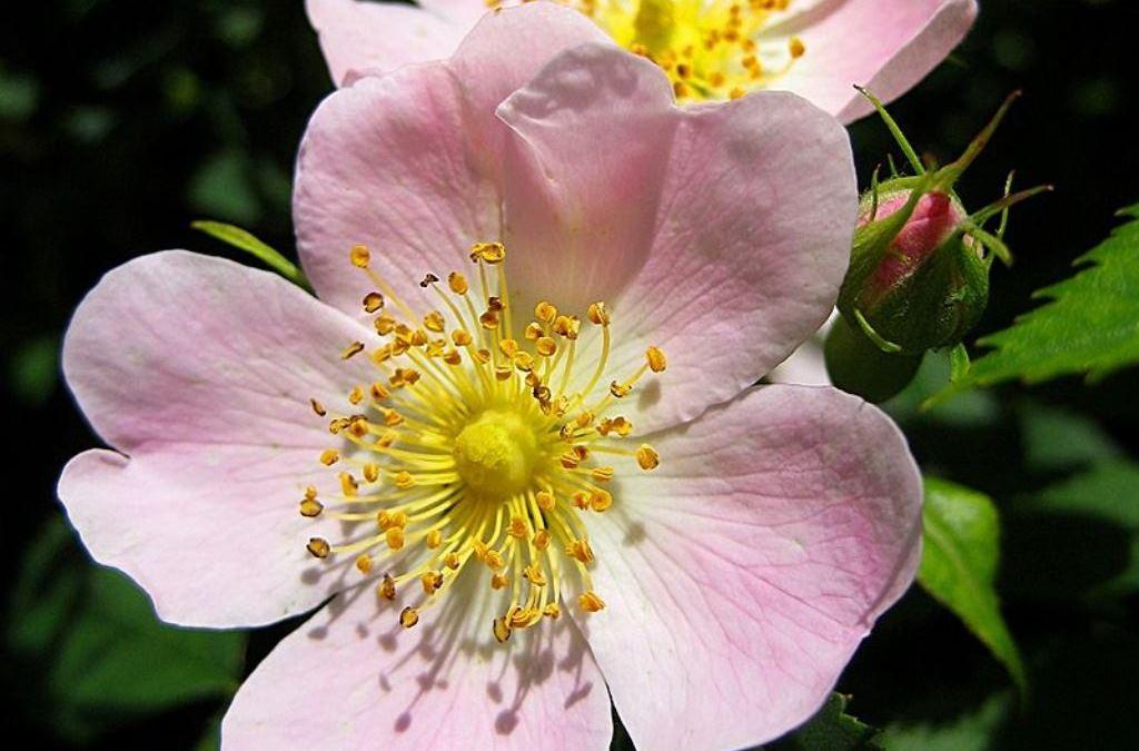 Růže šípková pro krásu i zdraví