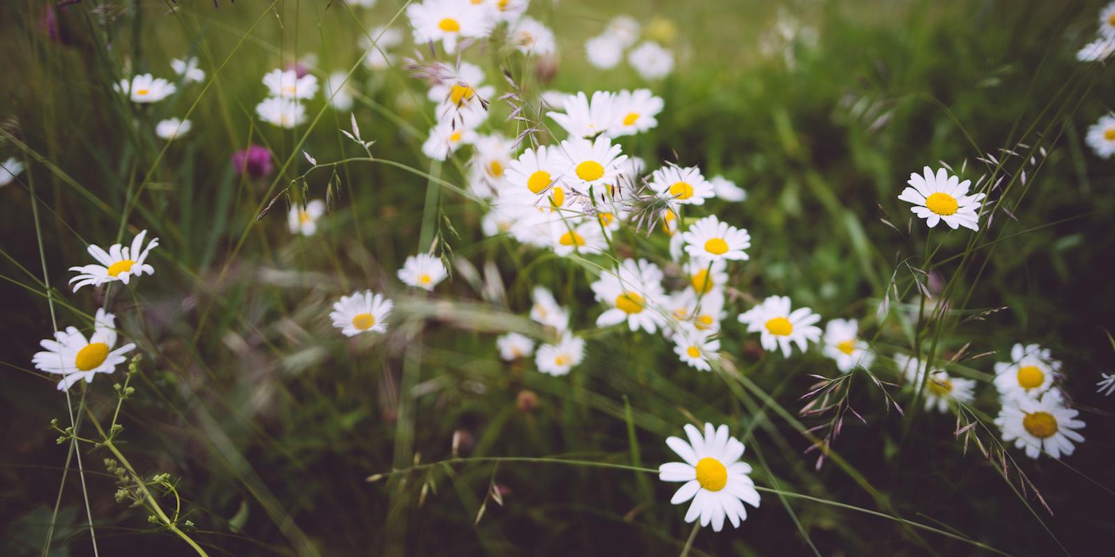 Sedmikráska a kopretina: bylinky pro zdraví