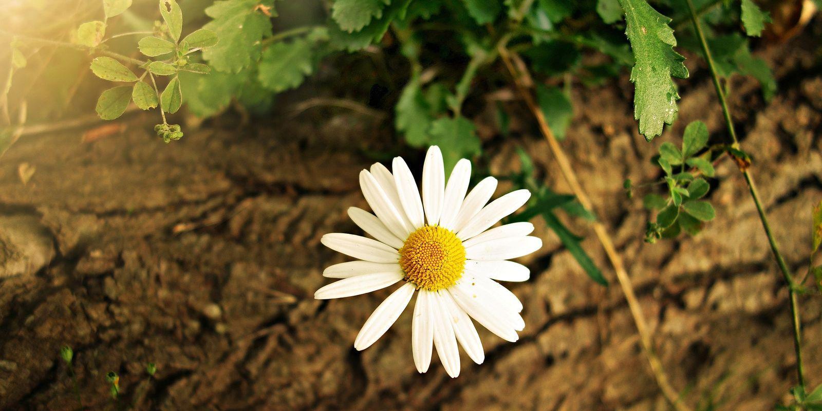 Kopretina - symbol štěstí i léčivá bylina