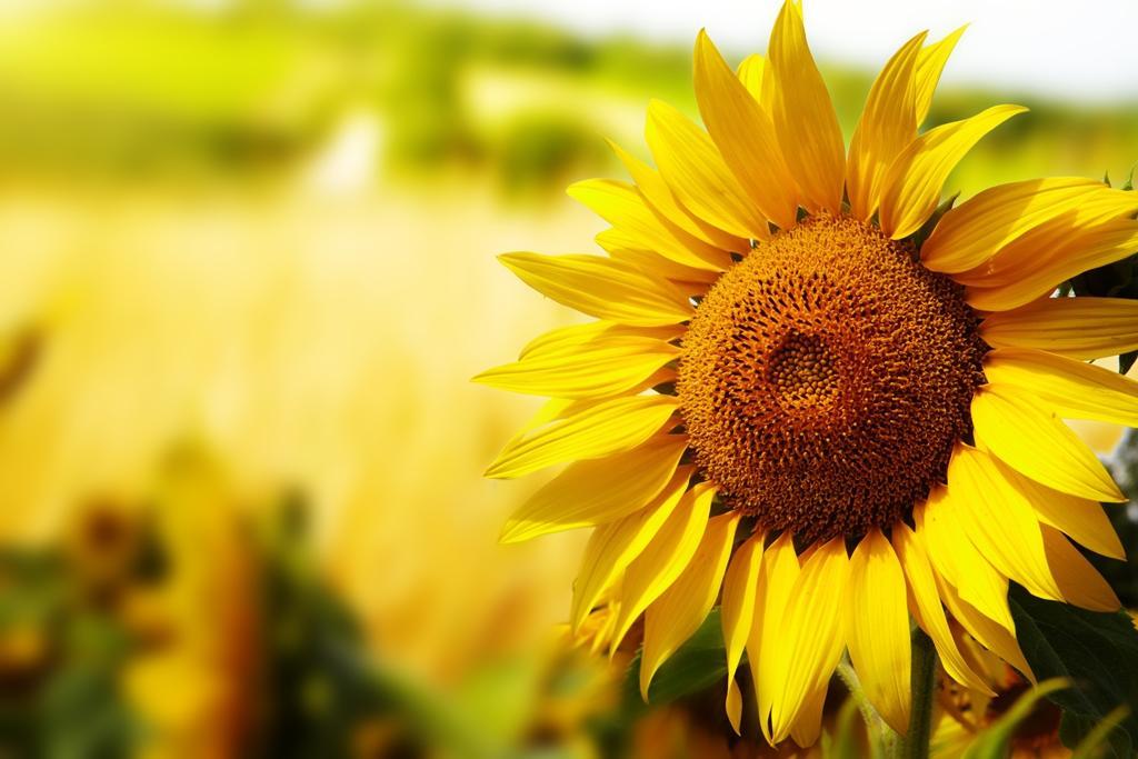 Co obsahují slunečnicová semínka