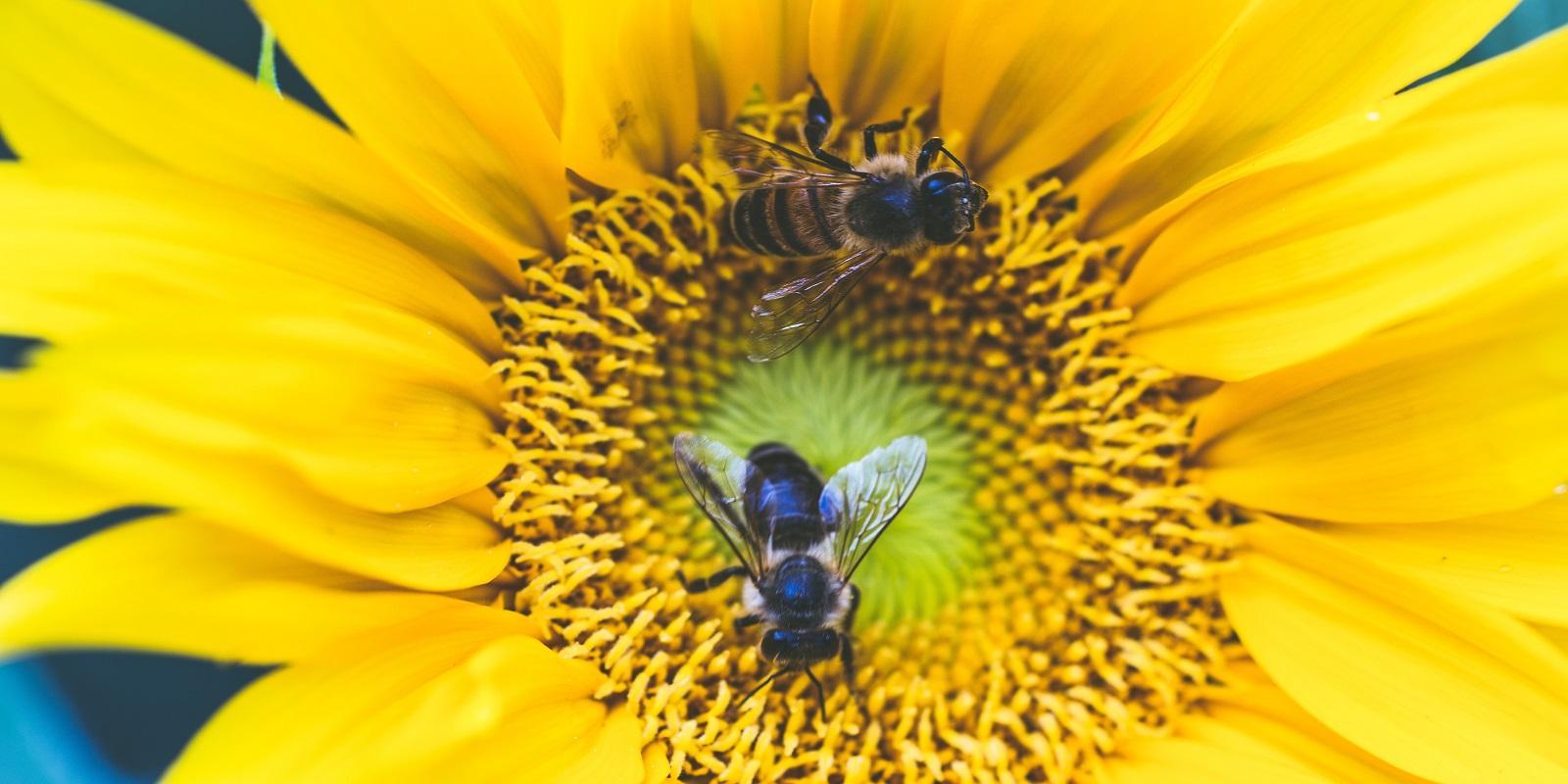 Včelí pyl jako potravina dlouhověkosti