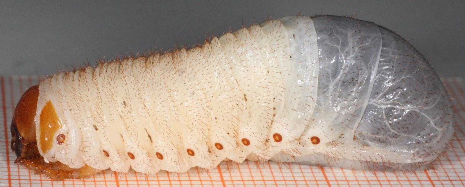 Miniaturní larvička