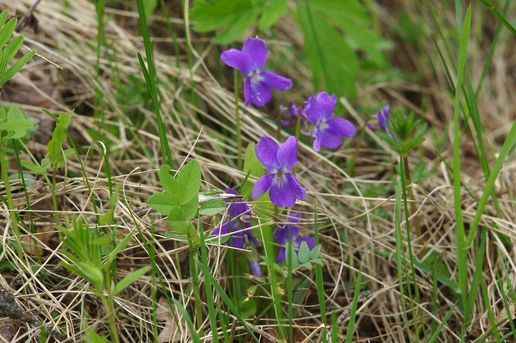 Vnitřní účinky violky