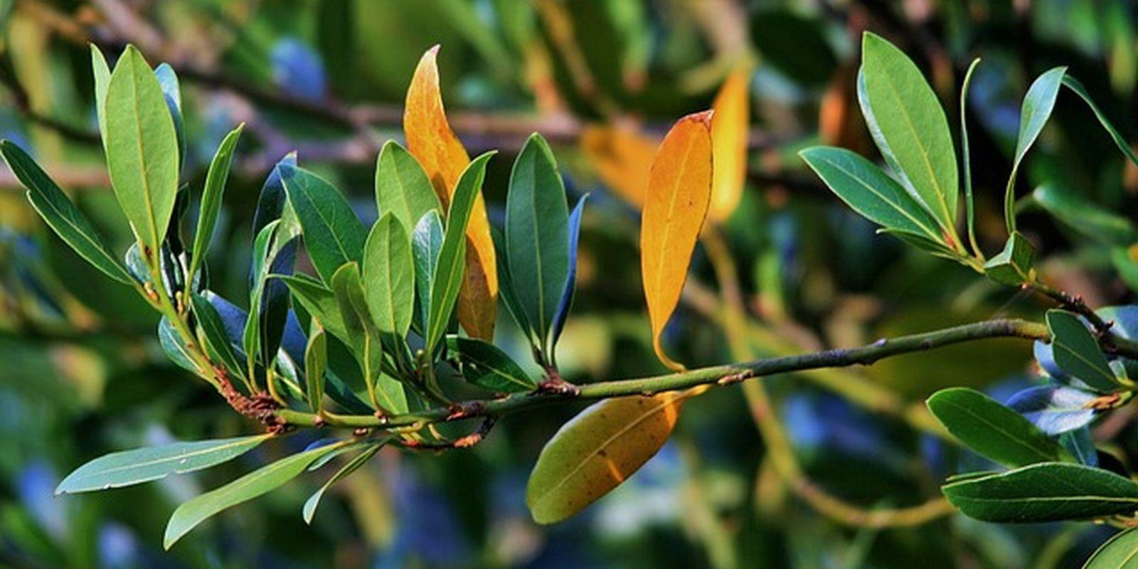 Vznešený bobkový list