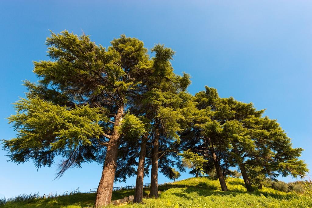 Zázračný sibiřský cedr (Pinus sibirica)